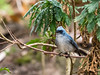 White-tailed Blue-flycatcher/Elminia albicauda (odileva) Tags: lakebunyonyi august oiseaux whitetailedblueflycatcherelminiaalbicauda lake bird uganda nature ndorwa westernregion ouganda ug elminiaalbicauda