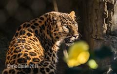 DSC07117 (montusurf) Tags: amur leopard feline cat predator san diego zoo california shadow zoosofnorthamerica