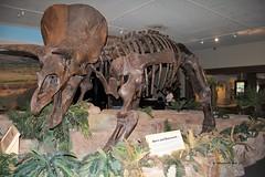 Triceratops (Triceratops horridus) (Gerald (Wayne) Prout) Tags: triceratops triceratopshorridus animalia chordata ornithischia ceratopsidae chasmosaurinae triceratopsini horridus skeleton herbivorous ceratopsid dinosaur maastrichtian cretaceous cretaceouspaleagene extinct extinction threehornedface thewittemuseum cityofsanantonio bexarcounty texas usa stateoftexas lonestarstate prout geraldwayneprout canon canoneos60d eos 60d photographed photography reptiles animals fossils sanantonio bexar county digital camera prehistoric northamerica