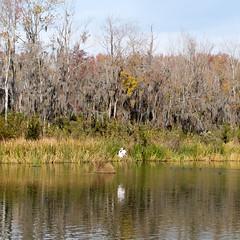 White bird (ep_jhu) Tags: augusta x100f georgia nature water thanksgiving ga fujifilm agua trees bird fuji naturaleza park reflection phinizyswamp swamp white