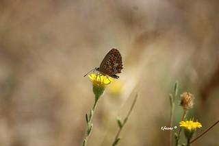 Mariposa diurna. Esta pequeñita y bonita mariposa es muy curiosa ya que exteriormente el macho y la hembra son similares, pero las caras internas son muy distintas.