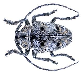 Dichostates quadripunctatus (Chevrolat, 1855)