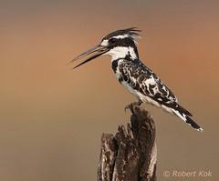 Pied Kingfisher! (Jambo53 (!)) Tags: piedkingfisher robertkok botswana nikond700 nikon600f4 bird vogel ijsvogel eisvogel boom perch stronk choberiver rivier