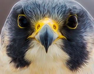 Peregrine Falcon.....