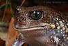 Giant Burrowing Frog (Heleioporus australiacus) (Jules Farquhar.) Tags: giantburrowingfrog heleioporusaustraliacus frog anura limnodynastidae burrowing amphibia herpetofauna sydney nsw bluemountains sandstone sydneybasin julesfarquhar