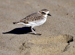Plover Footprint (Explore) (Patrick Dirlam) Tags: trips morrobaylososos birds oceanbirds western snowy plover explore explored sunrays5