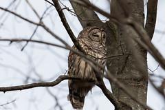 Barred Owl (grobinette) Tags: barredowl owl huntleymeadowspark huntleymeadows