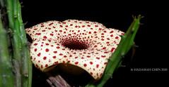 Huernia hislopii (Wonder Kitsune (Catching up !)) Tags: succulentplant succulent unusualflowers unusual carrionflower cactisucculent cactiandsucculents huerniahislopii huernia stapeliad apocynaceae asclepiadaceae asclepiads asclepiad