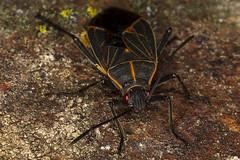 339/365  Western Boxelder Bug (Boisea rubrolineata)  Rhopalidae Hemiptera