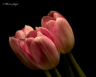 Pink Tulip Trio 1128 Copyrighted
