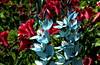 TEAL BLUE IXIAS.... (Lani Elliott) Tags: nature naturephotography lanielliott flowers springbulbs springflowers ixias tealblue blue redbackground garden homegarden bright light color colour colourful flower superb fantastic excellent beautful gorgeous wonderful