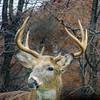 Lookin' In My Back Door (sharis snaps -Here sporadically) Tags: deer whitetaildeer buck ninepoint yard hunt nature lateautumn pennsylvania