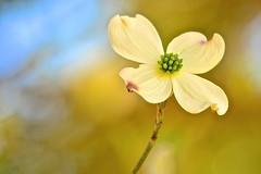Dogwood (deanrr) Tags: dogwood flower bloom spring spring2017 alabama nature outdoor morgancountyalabama bokeh