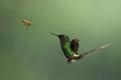 Green Thorntail (Discosura conversii) in flight fighting bee (Chris Jimenez Nature Photo) Tags: birding wasp nature interaction flying fighting insect greenthorntail colibries discosuraconversii action colibri inflight bee costarica bird tail wildlife twoanimal hummingbird chrisjimenez fly centralamerica