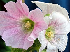 White And Pink Hollyhocks (Chic Bee) Tags: hollyhocks flowers veined elegant sensuous flowercluster june garden remindsmeof georgiaokeeffe painting style