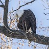BALD EAGLE on LEVEE ROAD (nsxbirder) Tags: baldeagle adult leveeroad whitewaterriver franklincounty preening male