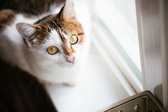 Ella in window light (Garen M.) Tags: dogs chip buttercup turkishvan cats nikond850 antics vans nikkor105mmf28macro jojo jerry ella