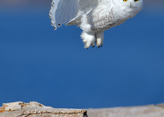 Blink and you miss it. (Hanzy2012) Tags: d500 afsnikkor500mmf4difedii toronto ontario wildlife canada snowyowl buboscandiacus harfangdesneiges