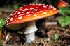Kati Lake (Kleoníki Tzovara Photography) Tags: amanita muscaria nature mushrooms landscape photography mount olympus fly agaric autumn canon eos 750d greece