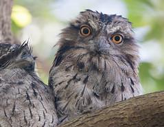 Tawny Frogmouth (christinaportphotography) Tags: tawnyfrogmouth podargusstrigoides frogmouth eyes berkeleyvale centralcoast nsw australia bird birds wild free focus dof