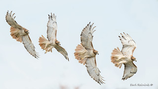 Red-tailed fly-by