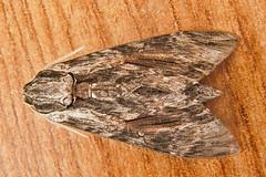 1972-P1120376 Convolvulus Hawk-moth (Agrius convolvuli) (ajmatthehiddenhouse) Tags: stmargaretsatcliffe kent uk 2016 garden moth sphingidae agrius convolvuli agriusconvolvuli convolvulushawkmoth