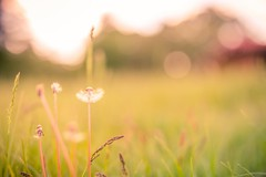 Fragile (icemanphotos) Tags: meadow sunset bokeh blur dandelion summer solitude calm