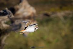 Flyby (gseloff) Tags: killdeer bird flight bif losojitos arroyo bigbendranchstatepark bbrsp chihuahuandesert presidiocounty texas gseloff