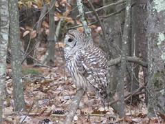 Barred Owl Profile (amyboemig) Tags: barred owl barredowl bird raptor studio forest woods autumn fall november