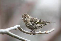 Pine Siskin (jlcummins - Washington State) Tags: backyardbirds yakimacounty washingtonstate canon tamronsp150600mmf563divcusd bird pinesiskin