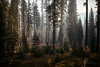 fire in the woods (Zanthia) Tags: california nationalpark yosemite dawn environment evergreen fairweather fall fog forest landscape leaf mist nature noperson outdoors pine scenic smoke tree wood usa us