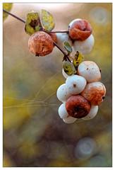 À défaut de la perdre... (Jean-Marie Lison) Tags: eos80d bruxelles anderlecht parcastrid fruits baies macro