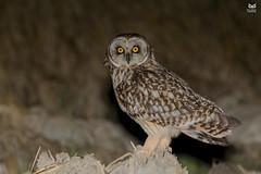 Coruja do Nabal, Short-eared Owl (Asio flammeus) (Nuno Xavier Moreira) Tags: corujadonabal shortearedowlasioflammeus nunoxavierlopesmoreira ngc