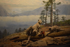 Chicago, IL - Grant Park - Field Museum - Snow Leopard (jrozwado) Tags: northamerica usa illinois chicago museum fieldmuseum naturalhistory grantpark snowleopard taxidermy diorama