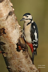 Great spotted woodpecker (Dean Eades BirdMad Wildlife Photography) Tags: woodpeckers birds dean eades