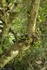 40836 Fig tree (Ficus variegata) with cauliflorous fruits, in coastal lowland rainforest, Vale Eco Centre, Teluk Batik, Lumut, Perak, Malaysia. (K Fletcher & D Baylis) Tags: plant vegetation flora tree fig figs syconia figtree moraceae ficus ficusvariegata fruit seed califlory cauliflorous lowlandrainforest coastalrainforest telukbatik lumut perak malaysia asia november2017