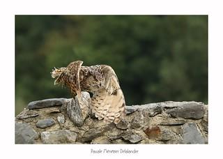 Grand-duc d'Europe - Eagle-Owl