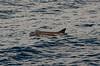 Roughtooth dolphin (Mol_PMB) Tags: maldives roughtooth dolphin steno bredanensis