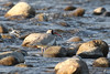 Ibisbill - Ibidorhyncha struthersii (Roger Wasley) Tags: ibisbill ibidorhynchastruthersii river assam india asia rare birds wild nameri nationalpark jiabhorali himalaya himalayas