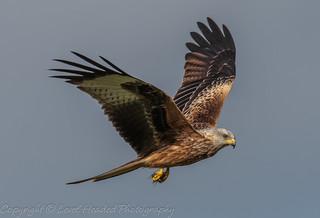 Red Kite - (Milvus milvus) 'Z' for zoom