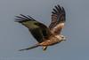Red Kite - (Milvus milvus) 'Z' for zoom (hunt.keith27) Tags: milvusmilvus redkite kite red raptor hunter bird feather wing beak talons wales gigrin beautiful flying canon crop hawk grass animal field