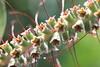 """Entre deux floraisons (Pi-F) Tags: nature fleur pistil callistemon vert clochette macro """"canonflickraward"""