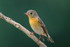 Mugimaki Flycatcher [Explored] (BP Chua) Tags: bird nature wild wildlife animal flycatcher mugimaki bidadari park singapore jungle forest nikon d750 600mm