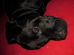 Casimiro pensando (Juan Antonio Xic Eseyosoyese) Tags: casimiro negro blacky perro labrador retriever pensando punto de dormir en su cama perrito consentido mascota amigo black red canon acostadito