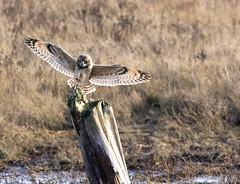 071A9543_DxO (wanderingalbotross) Tags: delta boundry short eared owl birding