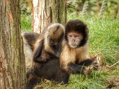 Golden-bellied capuchin with baby (sander_sloots) Tags: goldenbellied capuchin monkey baby gaiazoo zoo sapajusxanthosternos yellowbreasted geelborstkapucijnaap dierentuin aap kapucijnaap kerkrade capucin à poitrine jaune gaiapark