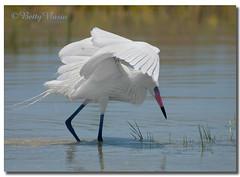 White Morph Reddish Egret (Betty Vlasiu) Tags: white morph reddish egret egretta rufescens bird nature wildlife florida fort de soto