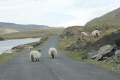 IMG_3294 (avsfan1321) Tags: ireland killaryfjord countygalway countymayo connemara wildatlanticway fjord lake water sheep