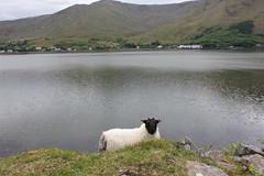 IMG_3288 (avsfan1321) Tags: ireland killaryfjord countygalway countymayo connemara wildatlanticway fjord lake water sheep