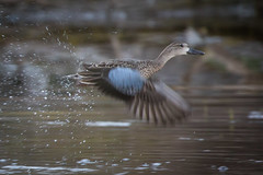 Desert Duck (gseloff) Tags: bluewingedteal duck bird flight bif nature wildlife arroyo desert losojitos bigbendranchstatepark bbrsp presidiocounty texas chihuahuandesert gseloff